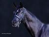 Black Stallion 2 (partridge10) Tags: black horse stallion equine portrait