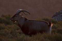 Young ibex (ramosblancor) Tags: naturaleza nature animales wildlife mamíferos mammals cabramontés spanishibex spanishwildgoat caprapyrenaica macho male subadulto subadult contraluz backlight peñadefrancia salamanca españa spain