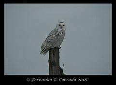 Snowy Owl (2214) (fbc57) Tags: snowyowl buboscandiacus owls strigidae tytonidae birds addison gagerd vermont nikond850 sigma150600dgoshsmsport