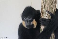 Gibbon à favoris roux_MIKADO (Passion Animaux & Photos) Tags: primate gibbon favoris roux monkey yellowcrestedgibbon parc animalier saintecroix france