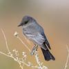 Say's Phoebe (Ed Sivon) Tags: america canon nature lasvegas wildlife wild western southwest desert clarkcounty clark vegas bird henderson nevada park