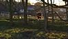 Schottisches Hochlandrind - es scheint sich langsam auszuziehen, Büschel für Büschel; Stexwig (50) (Chironius) Tags: schleswigholstein deutschland germany allemagne alemania germania германия niemcy tier rind landwirtschaft gegenlicht