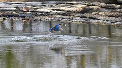 Eisvogel mit Fisch (karinrogmann) Tags: eisvogel kingfisher martinpescatore