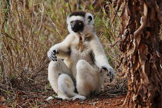 Verreaux's Sifaka Sitting By A Tree (Propithecus verreauxi)