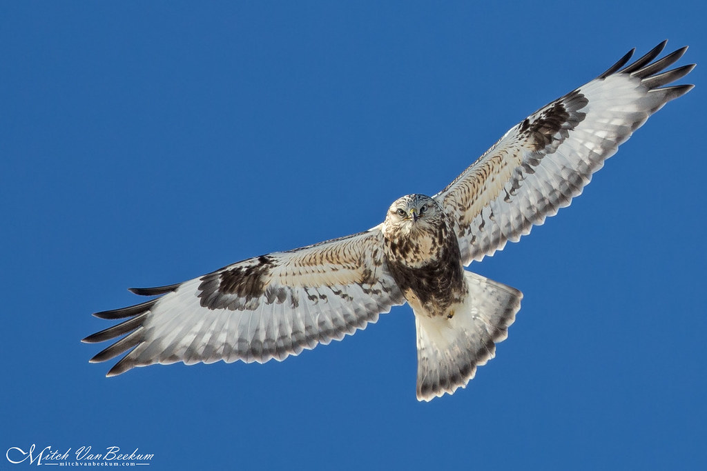 Death Stare (Rough-Legged Hawk)