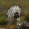 Icy-9 (niekeblos) Tags: dandelion drops icedrops bokeh nature canon6d macro