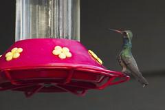 Broad-billed Hummingbird (ninjabirder) Tags: december2016 broadbilledhummingbird