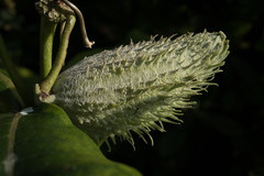 jdy243XX20170831a6384Bias-1 stop.jpg (rachelgreenbelt) Tags: ghigreenbelthomesinc usa eudicots asclepiassyriacacommonmilkweed greenbelt northamerica midatlanticregion ouryard familyapocynaceae asteridsclade ordergentianales maryland americas asclepiasall asclepiadaceaeborkhnomcons gentianales gentianalesorder magnoliophyta periplocaceaeschltrnomcons plumeriaceaehoran stapeliaceaehoran vincaceaevest willughbeiaceaejagardh apocynaceae apocynaceaefamily asterids dogbanefamily floweringplants spermatophytes naturallyoccurringplantorweed cultivarweednativenaturalplants