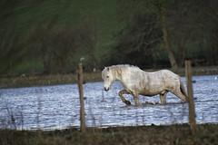 Cheval marin dans la vallée de la Rançon (xav.vergon) Tags: animaux cheval hiver larançon pointaf réglageaf12 saintwandrillerançon sortieornitho xaviervergon