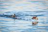 2018 01 13 - Lock and Dam 14-244.jpg (mh803) Tags: lockanddam14 duck wildlife nature waterfowl mallardduck iowa leclaire unitedstatesofamerica animal waterduck wild