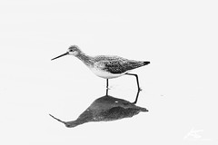 Greater Yellowlegs (kasperisummanen) Tags: birds nisquallynationalwildliferefuge wa pnw wildlife