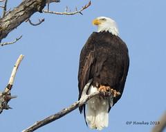Bald Eagle (pamfromcalgary) Tags: bird baldeagle mallardpoint fishcreekpark calgary alberta pamhawkes nature