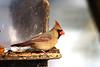 cardinal female feeding (david_sharo) Tags: nature wildlife cardinal southpark