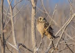 Short eared owl (Dawn Loehr Photography) Tags: owl shortearedowl raptor raptors birds birdsofprey nature naturephotography wildlife wildlifephotography fantasticwildlife