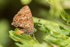 Ministrimon sanguinalis (Leonel H. Baldoni) Tags: lycaenidae mariposa borboleta butterfly hairstrek