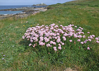 Thrift and Godrevy Island