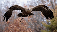 Take off (carlo612001) Tags: takeoff eagle wood forest woods wildlife falconry birds animals nature predatoridelcielo