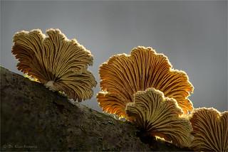 Schizophyllum (I)