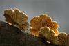 Schizophyllum (I) (klaus.huppertz) Tags: fürfeld fungi fungus funghi mushroom pilz makro macro stack spaltblättling schizophyllum tamron nikon nikond750 d750 mycophyta mycet mycobiont lamelle gill dofstacking focusstacking natur nature outdoor tamron90 mycology fantasticnature soe extraordinarilyimpressive