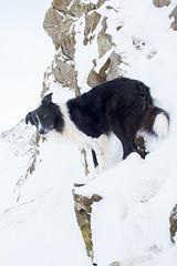 Alpine Paddy (JJFET) Tags: border collie mountain sheepdog paddy dog