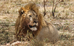And A New Week Is Coming Up (AnyMotion) Tags: lion löwe pantheraleo male cat 2015 anymotion serengetinationalpark tanzania tansania africa afrika travel reisen animal animals tiere nature natur wildlife 7d2 canoneos7dmarkii