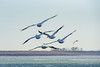 C2N_8595 (Clark Engbrecht) Tags: cheneylake kansas winter birds ice lakes nature outdoors waterfowl pelican