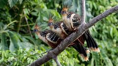 079.1 Hoatzin-20171112-J1711-67817 (dirkvanmourik) Tags: aves birdsofperu cochaotorongo hoatzin manuriver manureservedzone opisthocomushoazin otorongooxbow parquenacionaldelmanu peru2017 rainforest tropischregenwoud vogel yinelodge hoazín