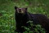 Smokies Black Bear (Tony Phillips Photography) Tags: cadescove greatsmokymountainsnationalpark tennessee animals blackbear nature naturephotography outdoorphotography outdoors spring wildlife wildlifephotography