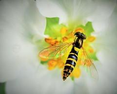 """Insect Love"" (seanwalsh4) Tags: hoverfly insect faunayellowblack strawberryflower fauna sundaysfauna canon ixus165canon closeup pollen delicate seanwalsh bristol 2016"