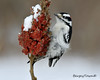 Watching the world go bye.  Male Downey Woodpecker. (BergeyTown) Tags: downey woodpecker nikon d500 cambridge 200500mm sumac lovenikon