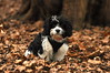 Freddie the Cavachon (Aimee Goold) Tags: dog pet mutt mongrel cavachon petphotography animal clumberpark