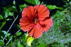 WOL Calauan Laguna Philippines Day 6 (203) (Beadmanhere) Tags: philippines flowers