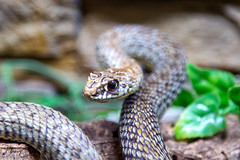 Ready to strike? (Dan Elms Photography) Tags: reptile reptiles snake venomous poisonous canon 5d danelms danelmsphotography