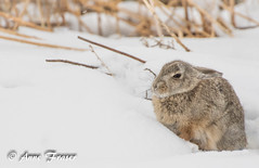 hunkering down (Anne Marie Fraser) Tags: animal rabbit hunkeringdown colorado snow snowing snowy nature wildlife rockymountainarsenalnationalwildliferefuge