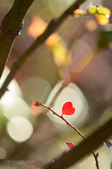 The love of nature (srepton) Tags: heart red nature nikon naturephotography bokeh valentine valentinesday loveofnature love