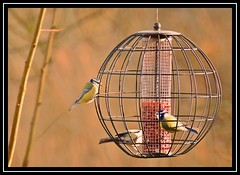 """Blue Tits Going Nuts...!!!"" (NikonShutterBug1) Tags: nikond7100 tamron70300mm birds ornithology wildlife nature spe smartphotoeditor birdfeedingstation bokeh birdsfeeding bluetit"