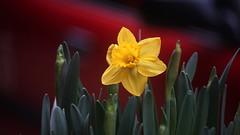 NSM04645 (rickytanghkg) Tags: minolta70210mm minolta sony a7ii sonya7ii flower