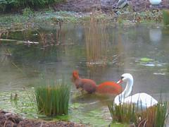 Eichhörnchen inspiziert den Eisteich (Sophia-Fatima) Tags: pond gartenteich wassergarten mygarden meingarten naturgarten gardening eichhörnchen squirrel eis