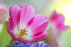 Tulips Still Going Strong (paulapics2) Tags: nature tulip february canoneos5dmarkiii sigma105mmf28exdgoshsmmacro