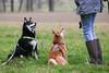 Hiyuga und Kazumi (blumenbiene) Tags: hund dog hunde dogs hündin female rüde male shiba inu inus frühling spring gassi spaziergang