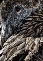 pelican_fish_line