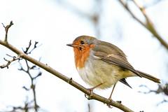 Scars add charachter to beauty (Paul Wrights Reserved) Tags: robin scar beautiful beauty beak bird birding birds birdphotography birdwatching