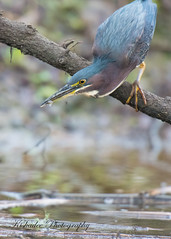 Fun-size (Kiskadee Photography) Tags: heron green hunting bird birds birding bittern bill eating fishing ornithology