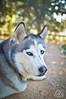 _DSC0046 (classic77) Tags: siberian husky dog canine k9 pet