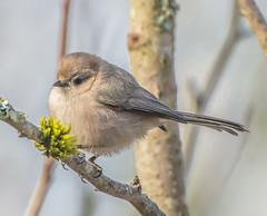 Meet Miss, Bush-tit. (Omygodtom) Tags: bokeh bird bushtit wildlife wild outside oaksbottom nikon70300mmvrlens simple d7100 dof digital branch blur classic