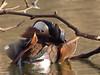 Mandarinente ♂ (mavrililli) Tags: rombergpark mandarinente dortmund