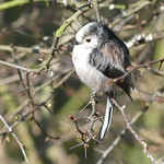 Long talied tit P1560457 thumbnail
