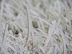 Some Will Stand (clarkcg photography) Tags: grass ice covered layers stand standup cold winter closeup macro plant fauna faunafriday fridayfauna 7dwf