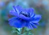 Time for Flowers (marionrosengarten) Tags: flower violet anemone purple lilac blossom nature blume blüte nikon flora bokeh green light nikon50mmf18 openaperture stamens