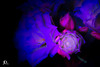UV light whiteflower-1 (johndyble) Tags: uvlight whiteuvflower whiteflower macro closeup
